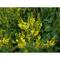 Донник лекарственный (Melilotus officinalis, herba Common melilot) трава 100 грамм.